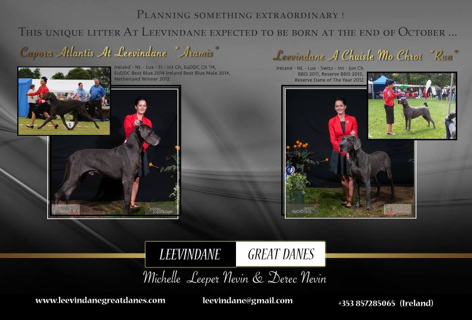 Great Dane Puppies, Blue great dane Puppies, Champion Blood lines, Great Dane Champions, Great Dane Health tested.