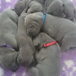 Blue Puppies