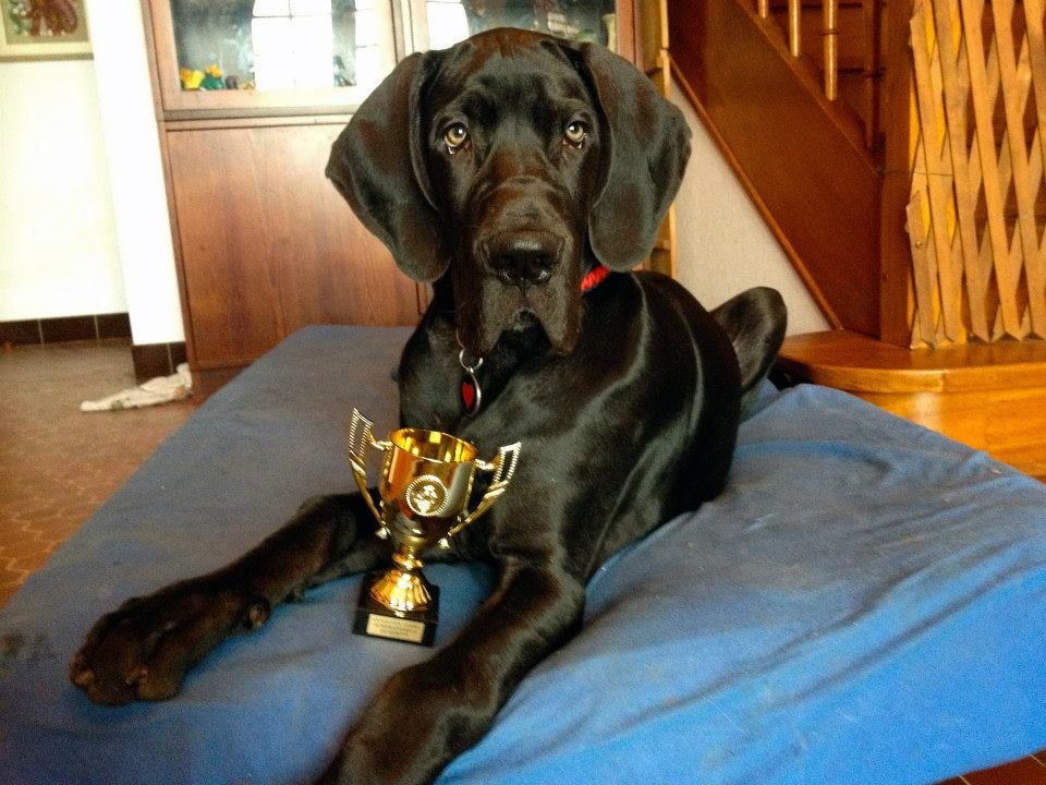 Mr Cole Baby , Black Great Dane Puppy, Leevindane Great Dane